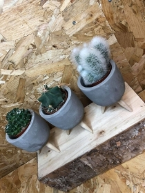 Cacti in Footed Pot!